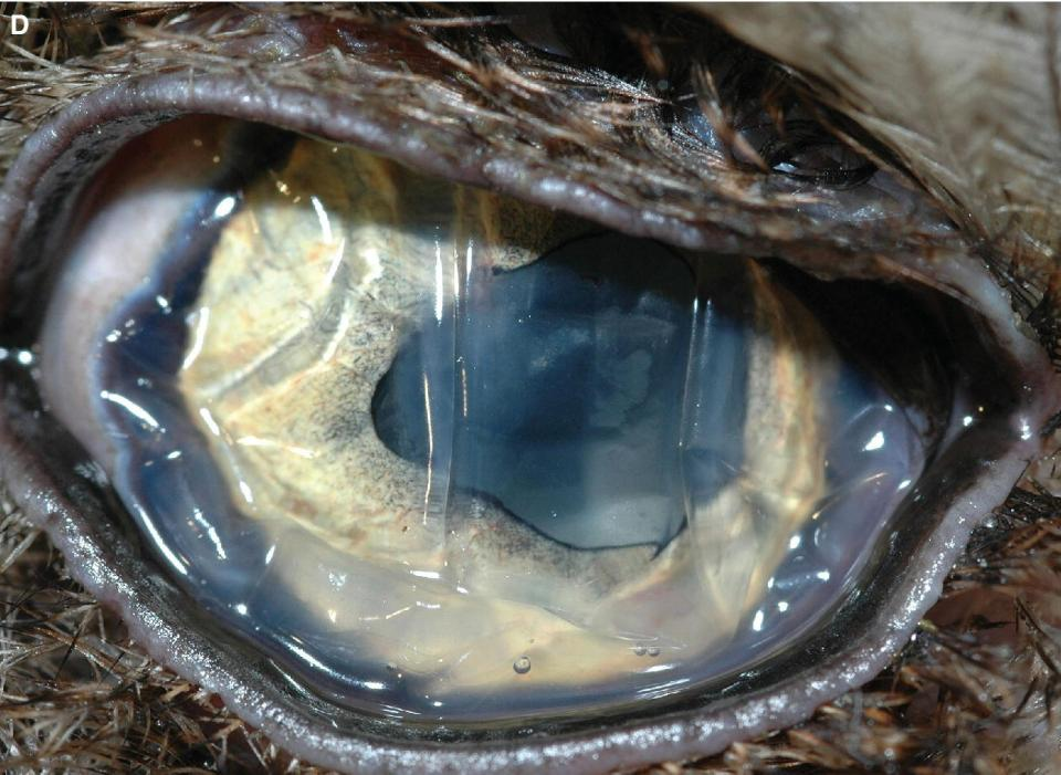 Photo of the Screech owl's eye with ruptured globe resulting in globe hypotension, loss of the anterior chamber, and deflation.