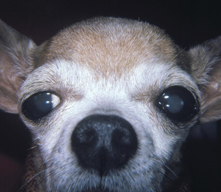Photo of a Chihuahua with enlarged calvarium and displaced eyes resulting from hydrocephalus.