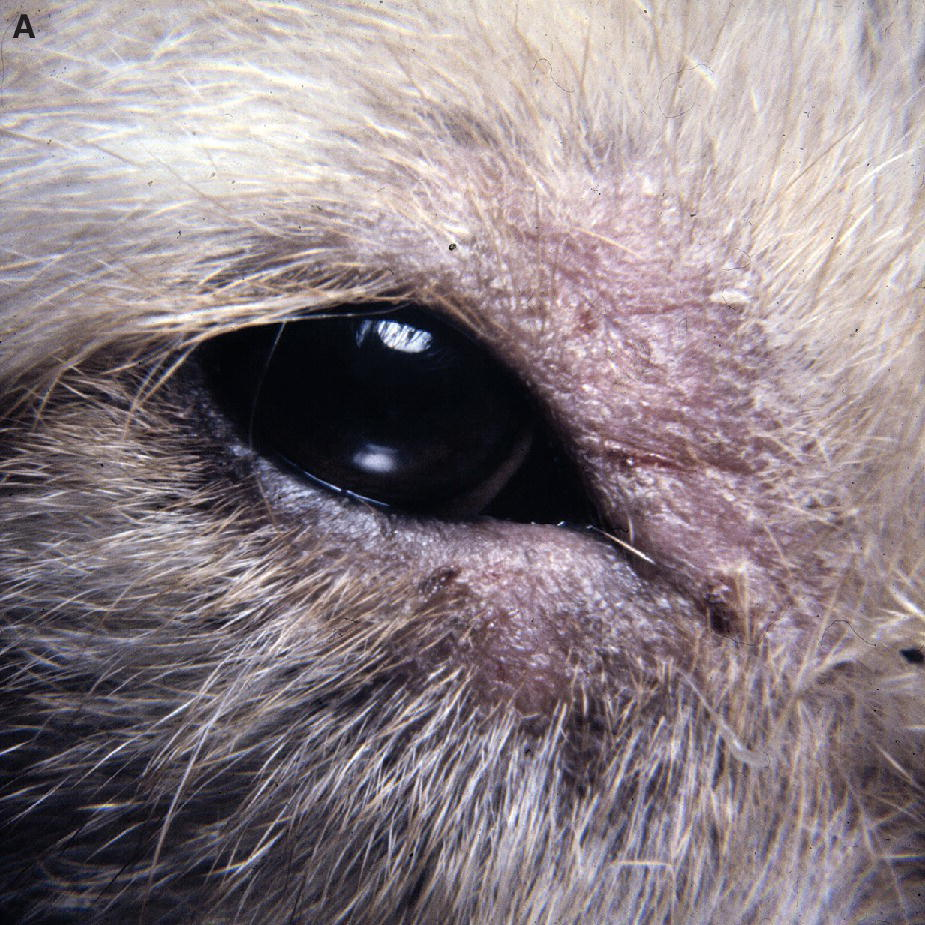 Photo of a puppy's eye with mycotic lid infections or dermatophytosis featuring dry and crusty alopecia of the eyelids.
