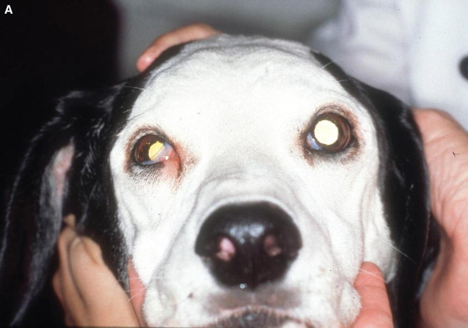 Photo of a dog with Horner's syndrome characterized by miosis, protrusion of the nictitating membrane, ptosis or drooping of the upper eyelid, and relative enophthalmia.