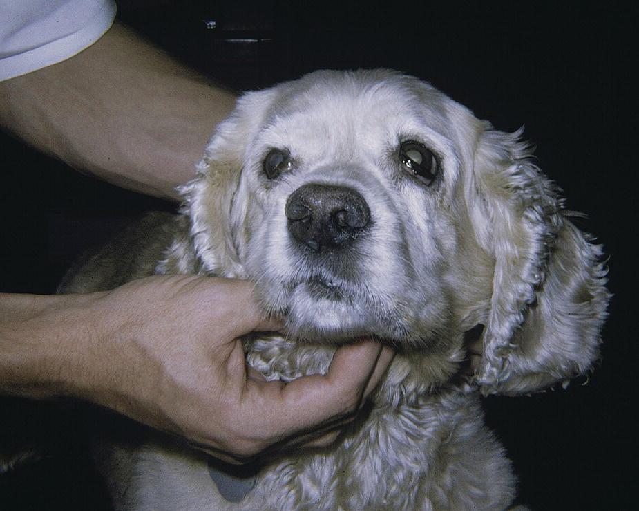Photo of a dog with narrowed palpebral fissure and distorted face due to hemifacial spasms.