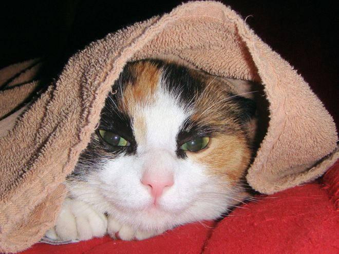 Как распознать воспаление легких у кошки и как его лечить