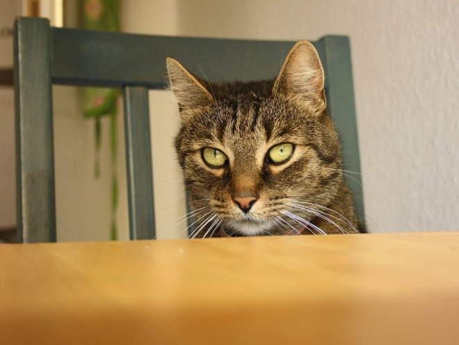 Порок развития и дистрофия тазобедренного сустава у кошек