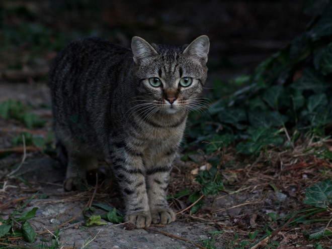 У кошки лопнул жировик что делать. Нужно ли удалять жировик у кошки? Признаки заболеваний кошек