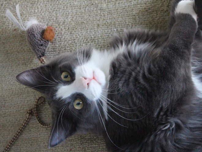 Почему у кота отдышка после бега. Одышка у собак и кошек