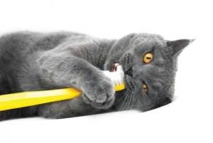 gato-juega-cepillo-de-dientes