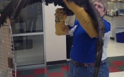 Guardian Animal Center Puts Eagle In Flight