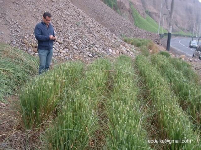 Vetiver Gras, Vetiver, Rekultivierung, Erosion