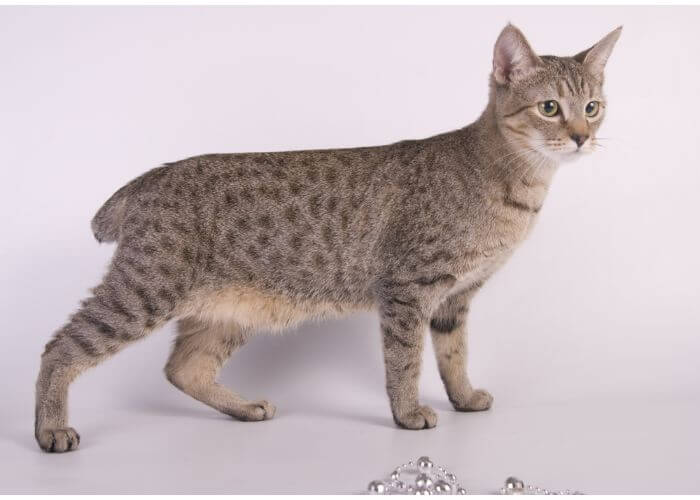 american bobtail for india