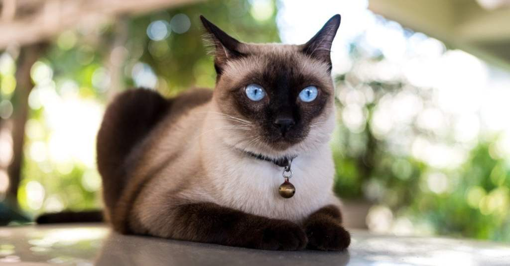 adorable siamase cat with blue eyes for childeren