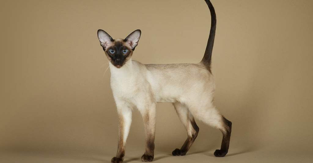 siamase cat standing and consider as distinct cat breed in india.