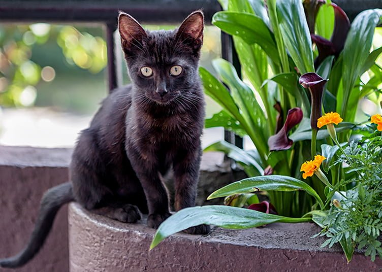 bombay cat is one of the best choice to keep as a pet in india.