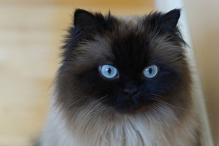 himalayan cat with blue eyes