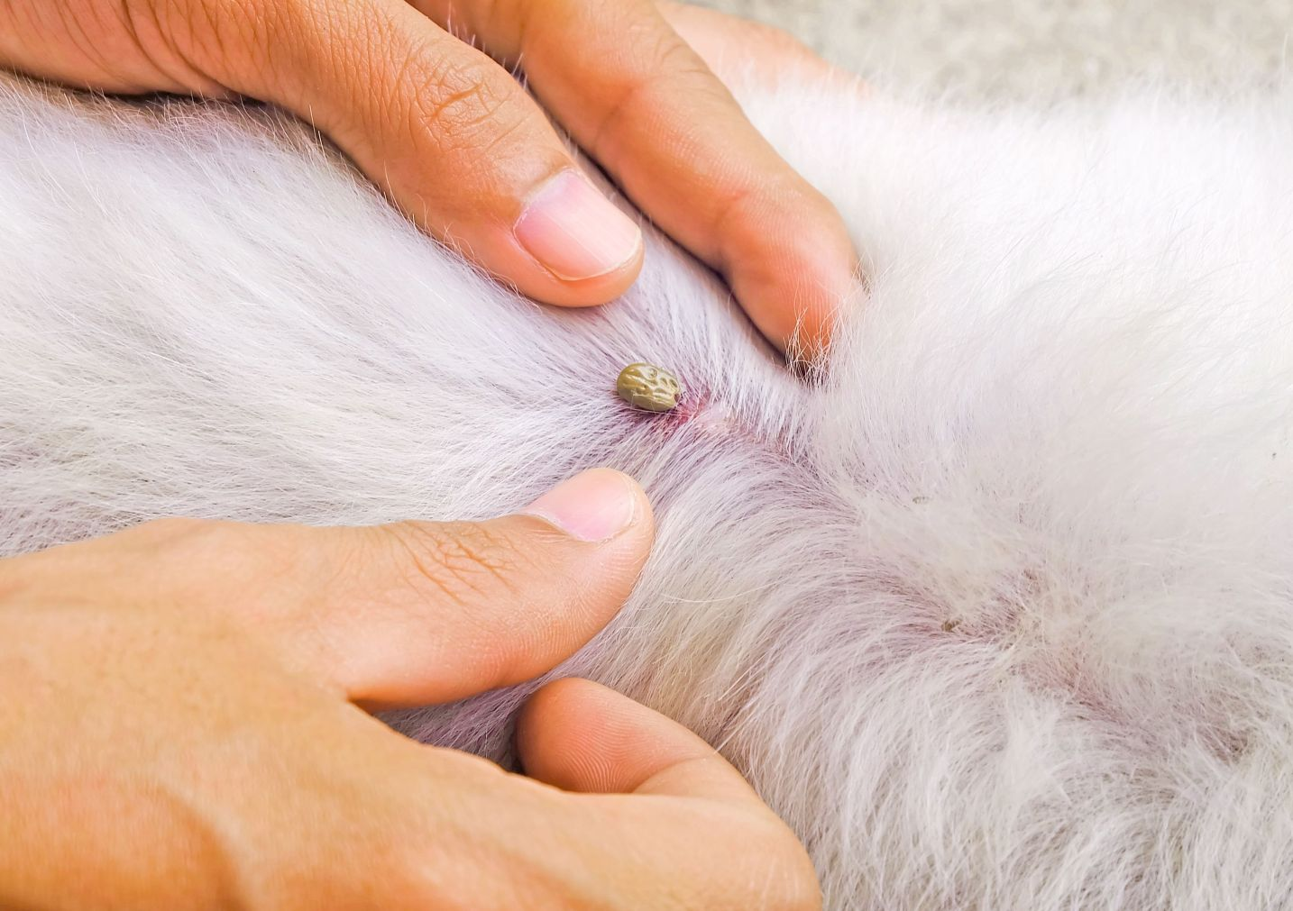 ticks causing lyme diseases, which adversely affect the dog health