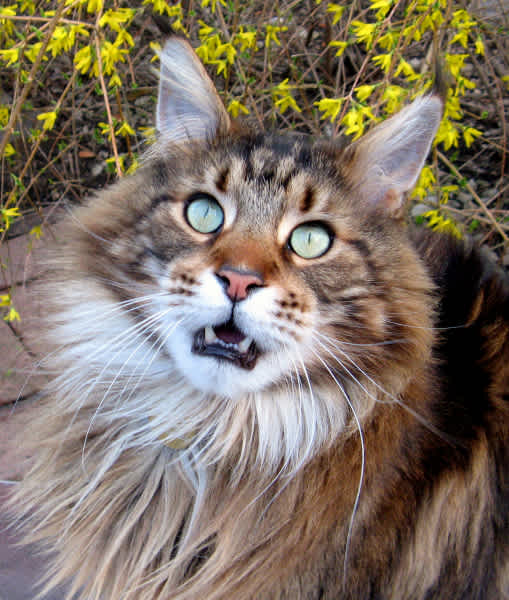 maine coon with adorable hide and coat color.