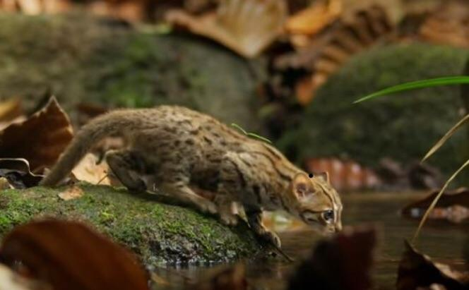 wild spotted cats for indian home and open environment.