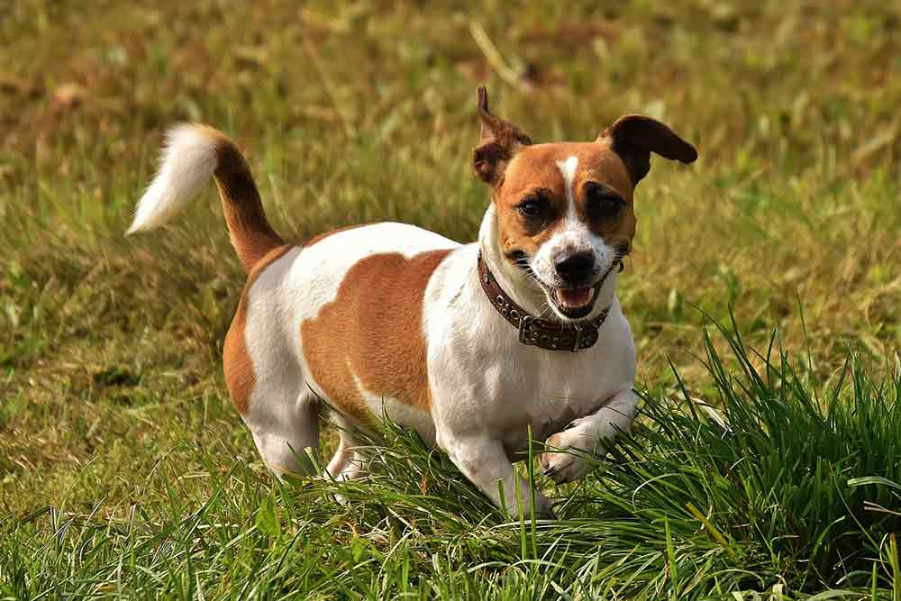 Jack Russell Terrier as a aggressive breed