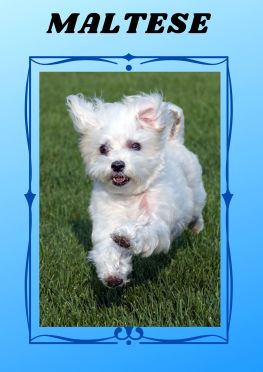 maltese are another dog breed that don't shed or smell.