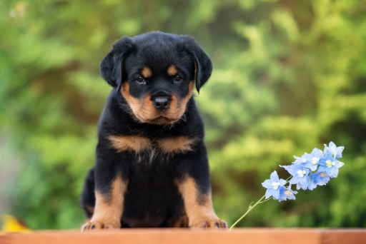 IMG: Rottweiler puppy in house