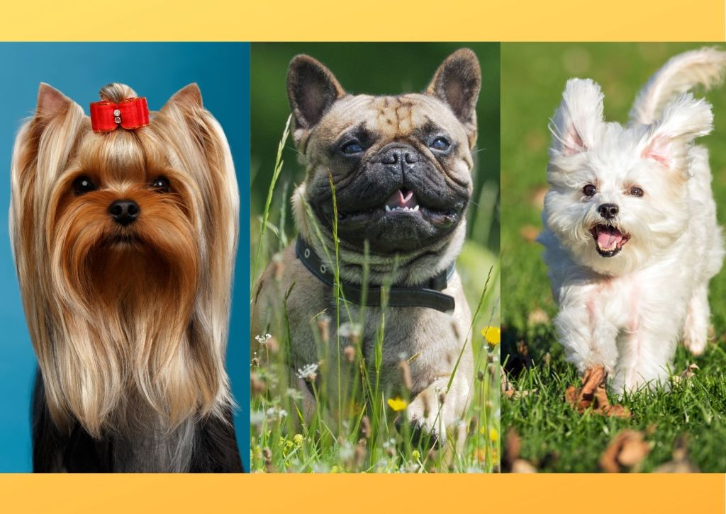 Dog breeds for apartment don't require much space and have calm temperament.