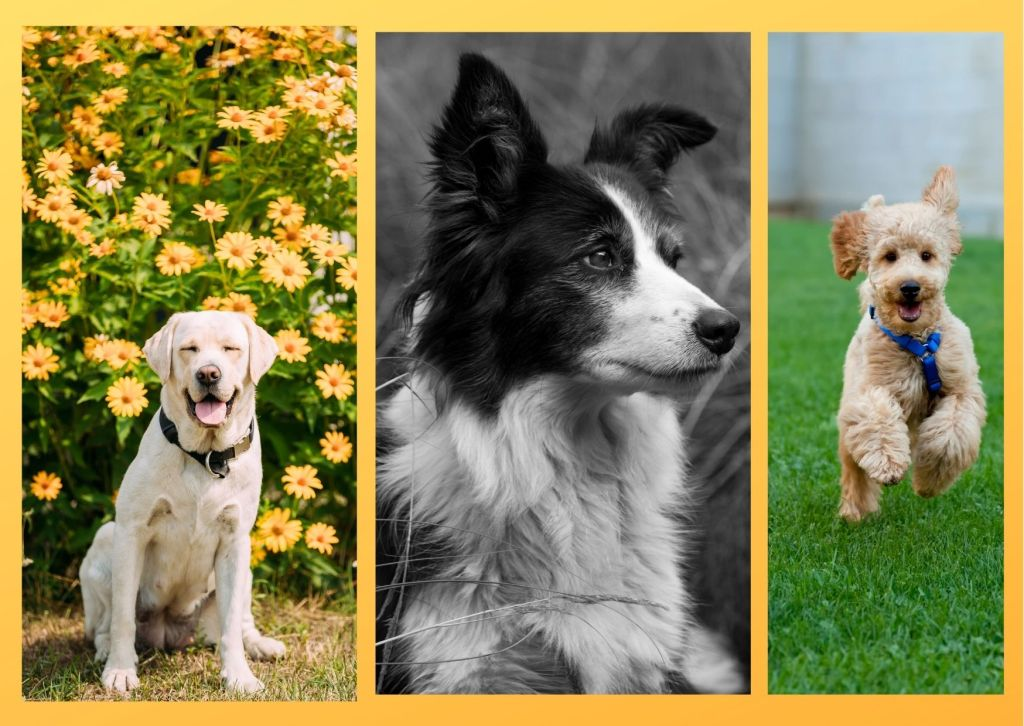 Dog breeds for newbies must be easy to handle and train. They have calm temperament and hence suitable for first time owners.