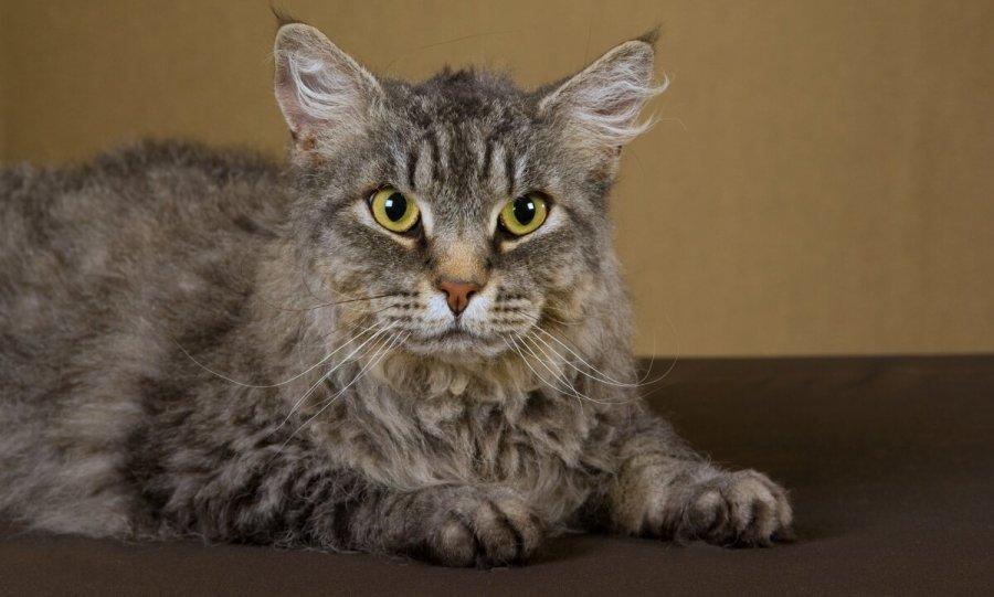 El gato LaPerm, características y temperamento