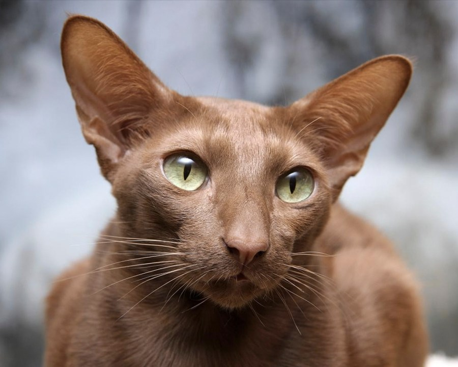Raza de Gato Javanés: información, cuidados, curiosidades