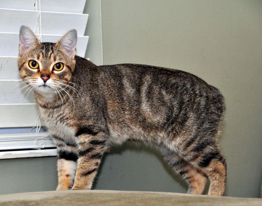 Gato Manx, cuidados, comportamiento y características