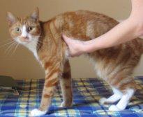 Кома у кошек – причины и симптомы патологии. Неотложные состояния у кошек Неотложные состояния у кошек