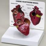 Heartworm Model