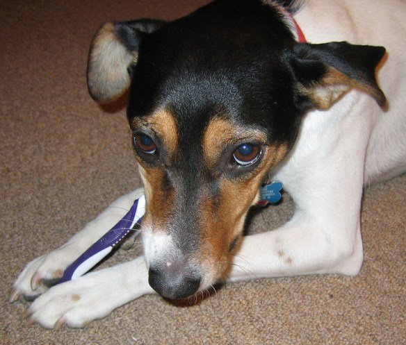 Bad Breath in Pets - Dog Chewing Toothbrush