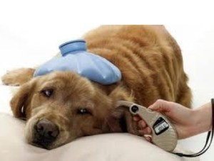 Dog having temperature taken from ear