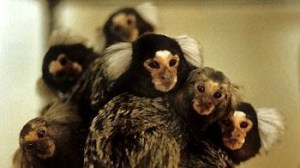 Group of Marmosets