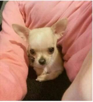 REUNITED ❤️CHIHUAHUA STOLEN FROM OWNER BY TWO MASKED MEN, MANCHESTER