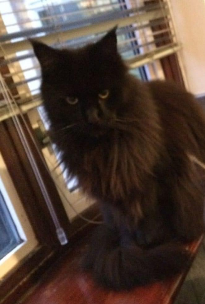 Missing cats microchip registration changed to new family and is now called Maud! #Northampton area #FernsLaw #FernsLawPart2 #MakeChipsCount #ScanMe