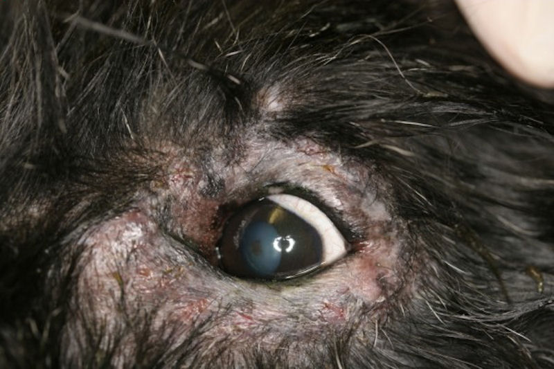 Periocular Dermatitis In Dogs Vetlexicon Canis From