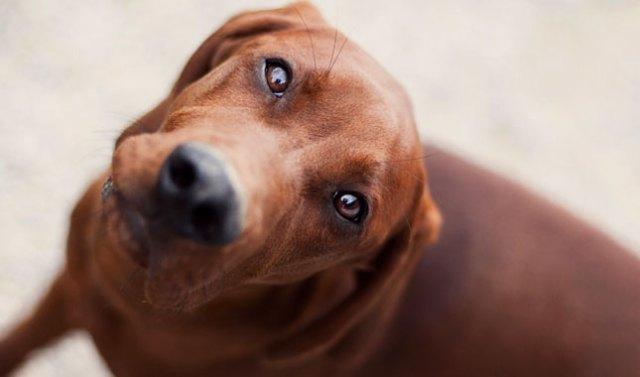 Image result for Redbone Coonhound