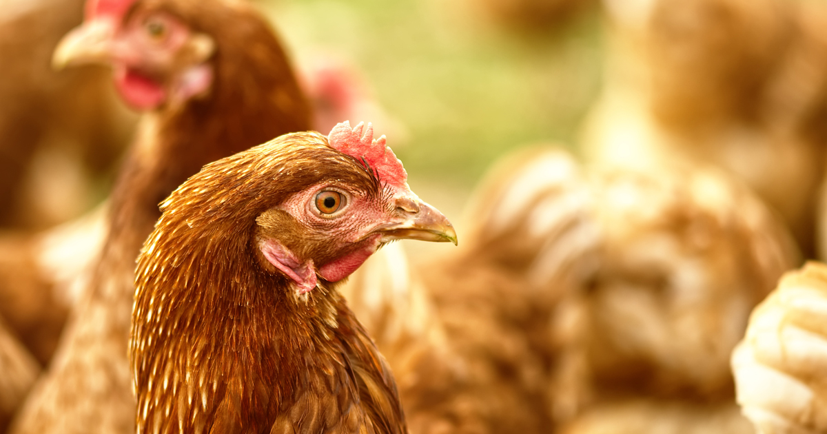 Breakthrough In Major Threat To Poultry Industry