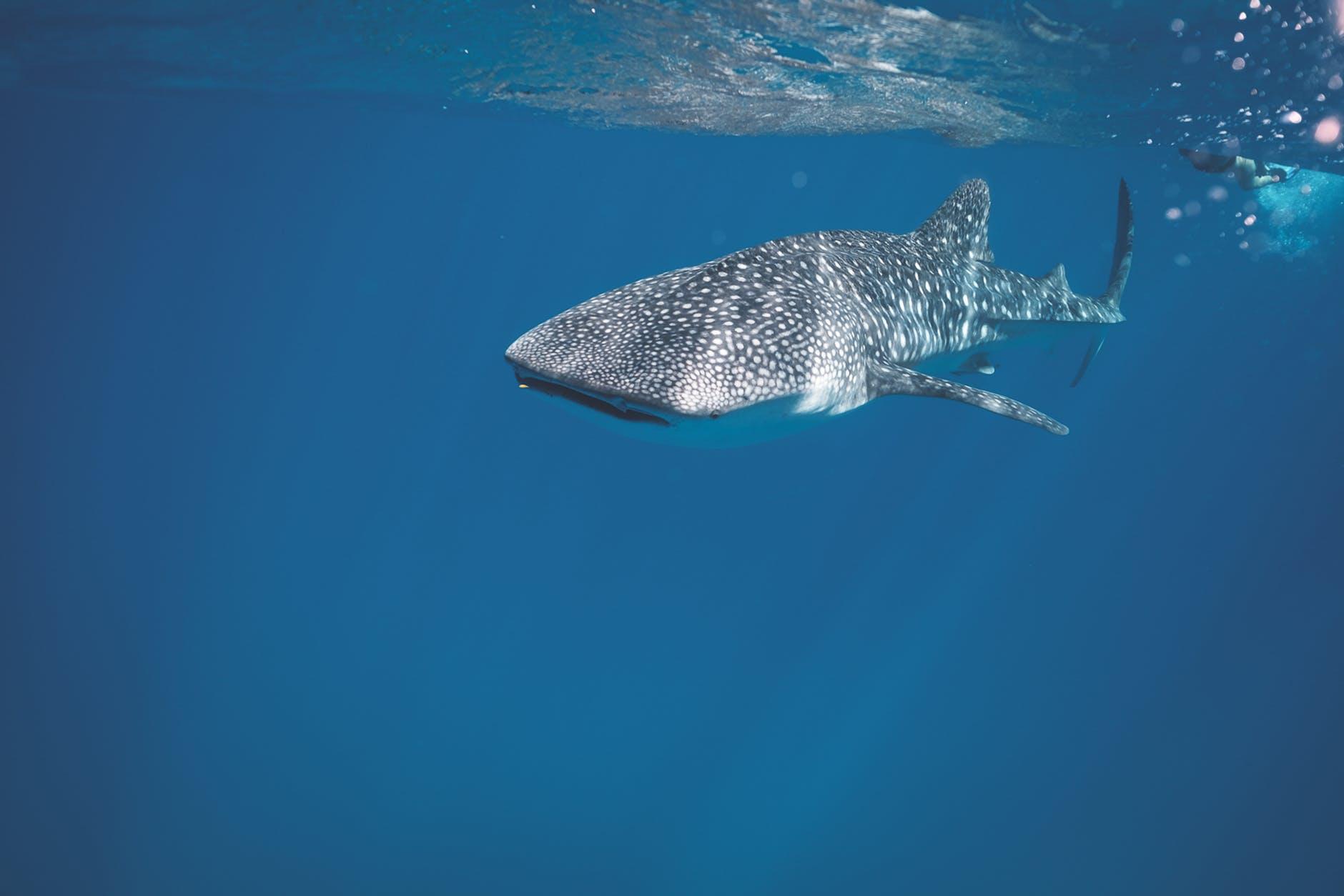 dangerous shark swimming underwater of sea