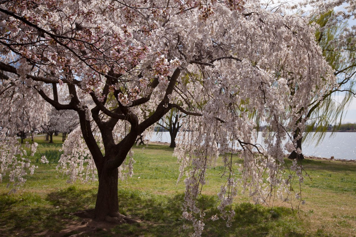 Cherry Blossoms Washington DC Vezzani Photography