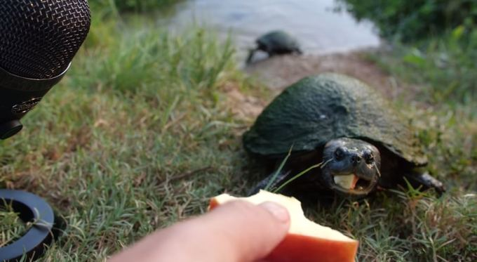 turtles and apples