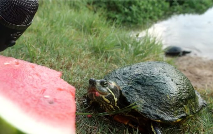 turtles and watermelon