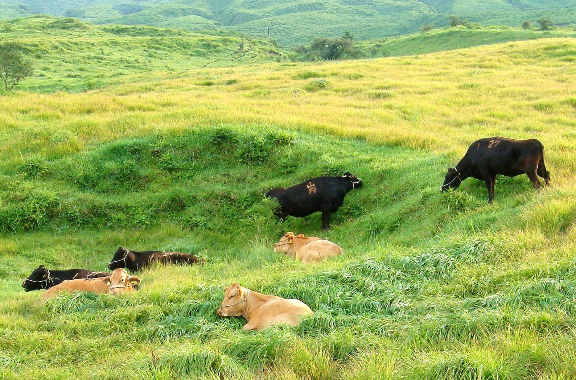 自然放牧で育つ阿蘇あか牛