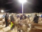Les Samis sont calmes et attrapent les jeunes rennes par les bois / the Samis are calm and grab the young reindeer by their antlers