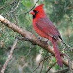 Northern Cardinal (male) via Wikimedia Commons