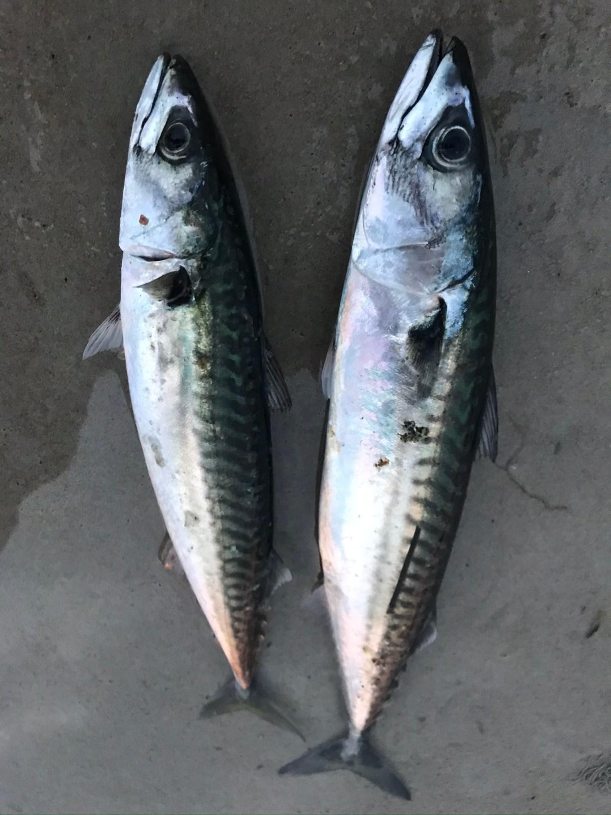 Makrel i dybden