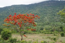 Blooming tree on the way to Champasak Town
