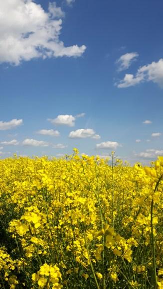 Colza field - Rapsfeld