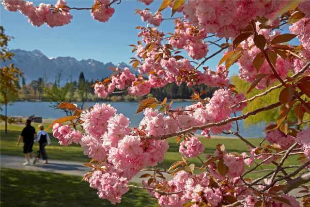 Cerejeiras em parque de Queenstown, na Nova Zelândia