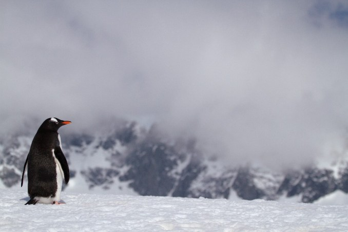 Pinguim-gentoo pode ser visto em Jougla Point, na Península Antártica (foto: Eduardo Vessoni)